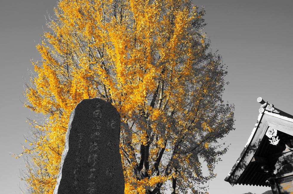 立岡自然公園 銀杏