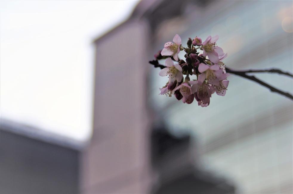 熊本市民会館 ヒマラヤ桜