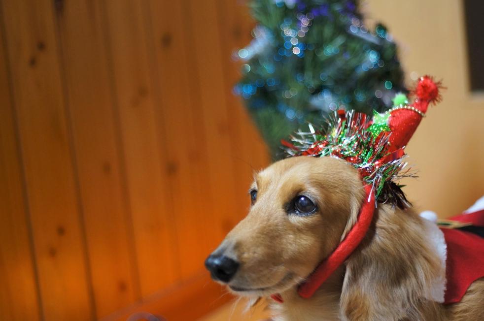 ダックスそらのメリークリスマス♪