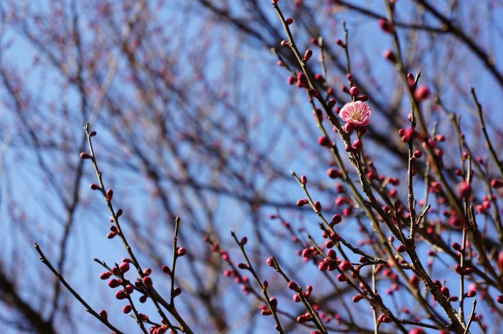 谷尾崎梅林公園 梅の蕾