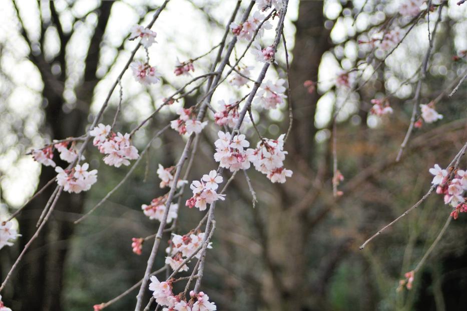 飯高山公園 熊本も桜開花