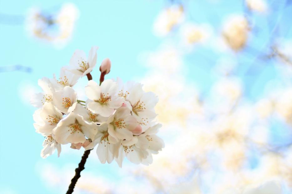 江津湖広木公園 桜