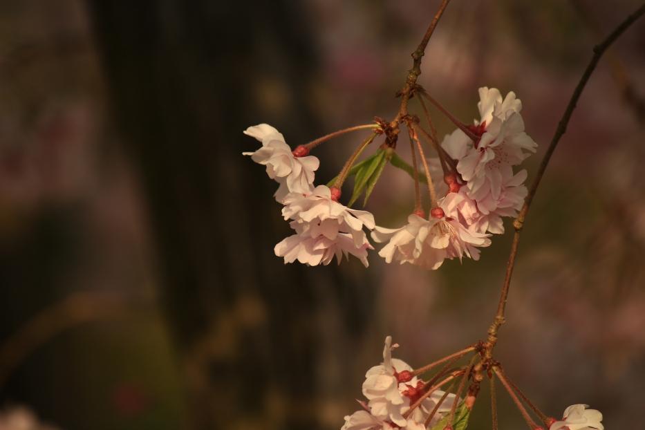 田原坂公園 桜