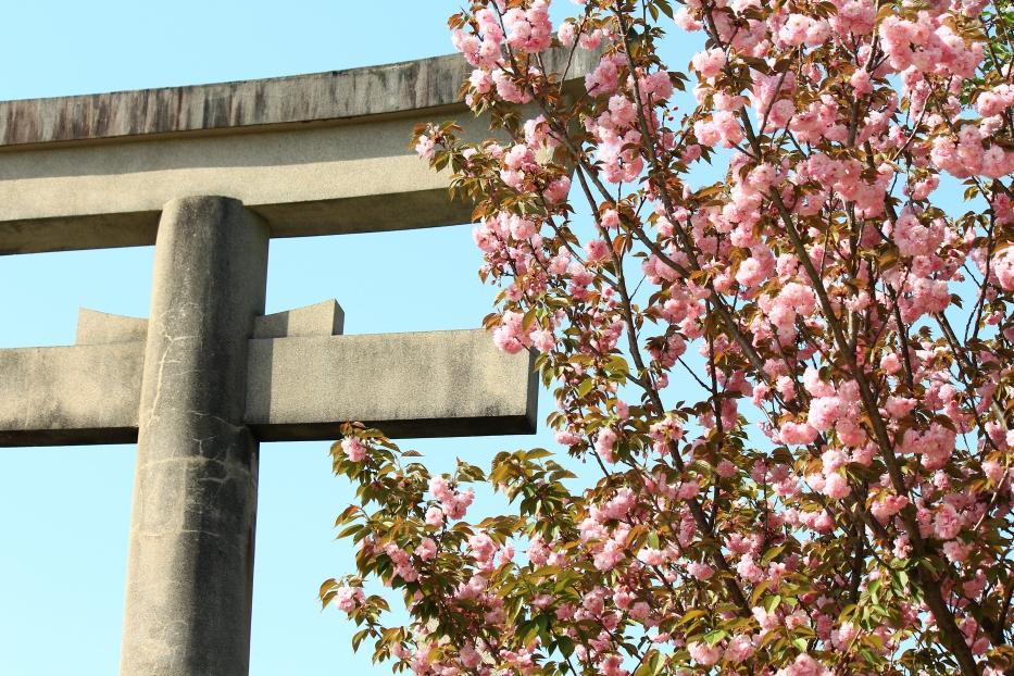 熊本県護国神社 八重桜