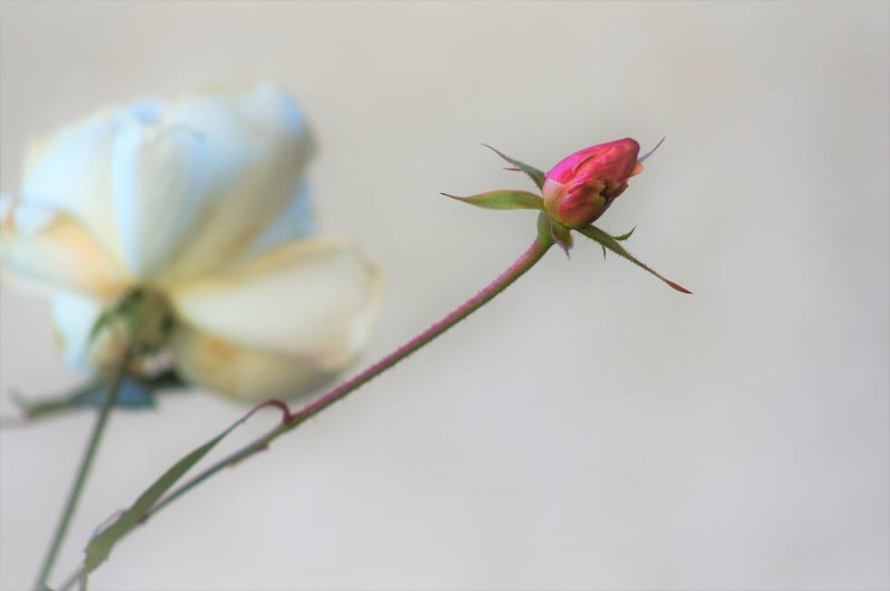 リゾラテラス天草 薔薇の蕾