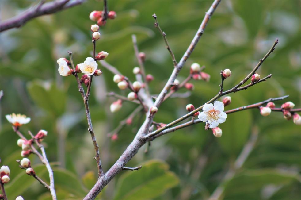 百梅園の白い梅