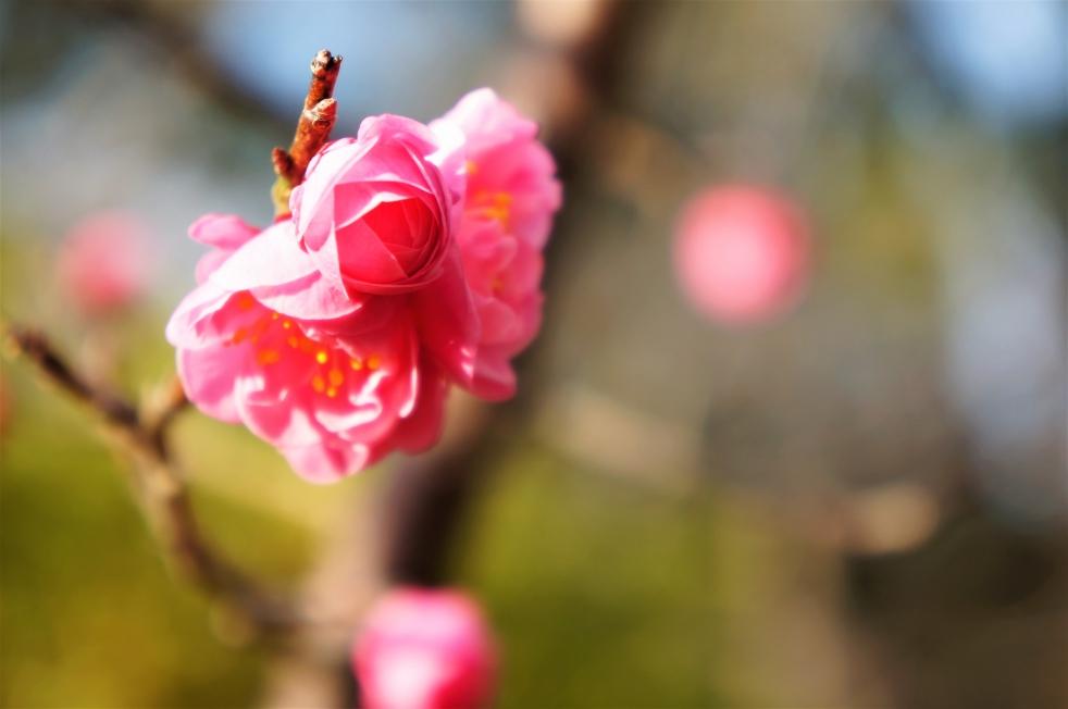 八代城跡 赤い梅