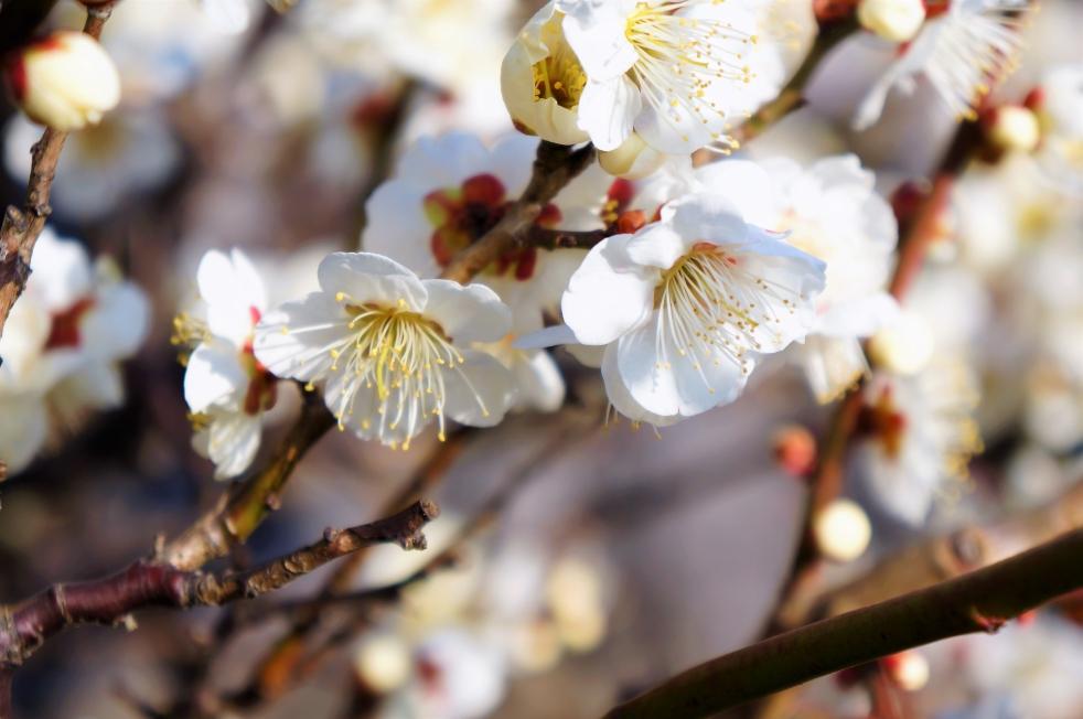 八代城跡 白い梅
