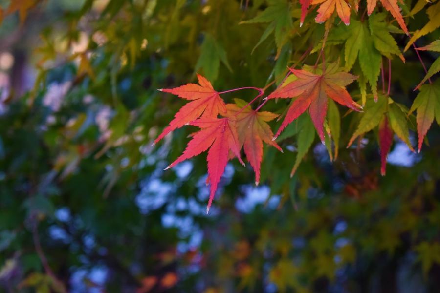 八代神社 紅葉