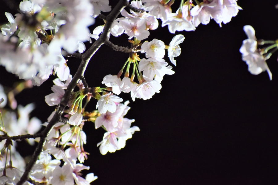 熊本城 夜桜