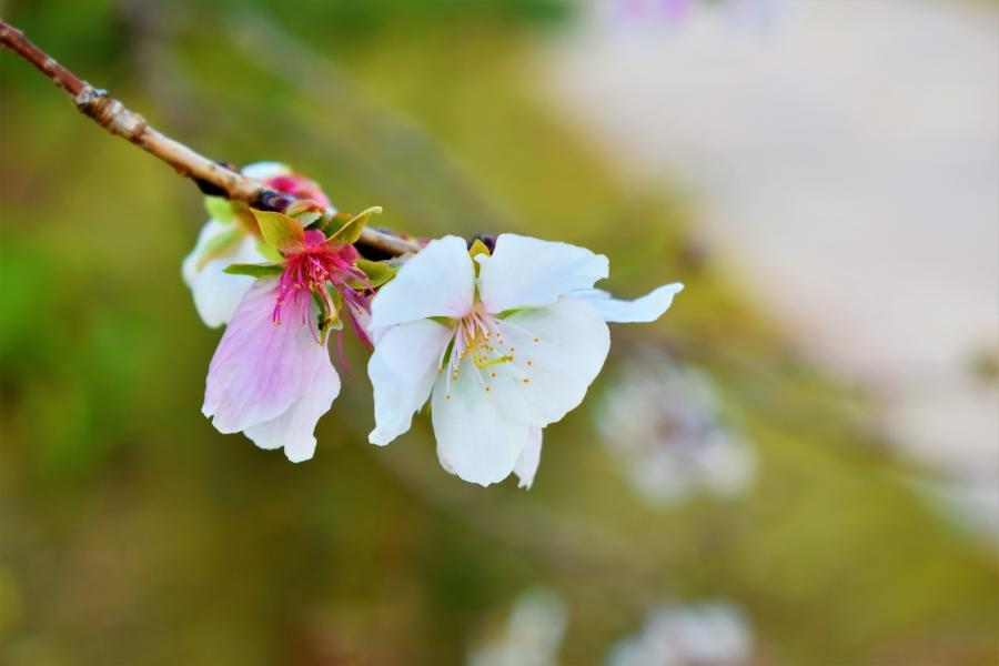 吉野ヶ里歴史公園 ジュウガツザクラ