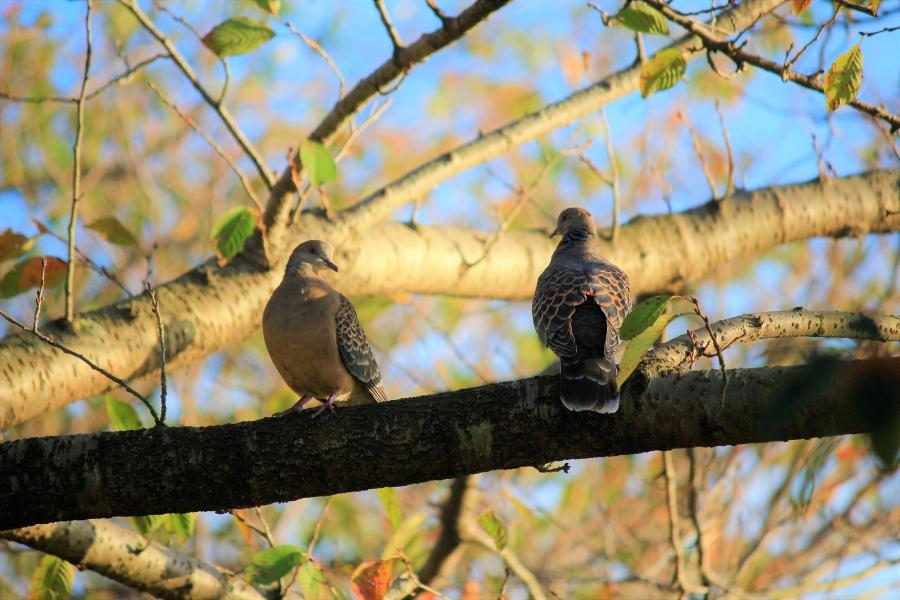 江津湖広木公園 鳩