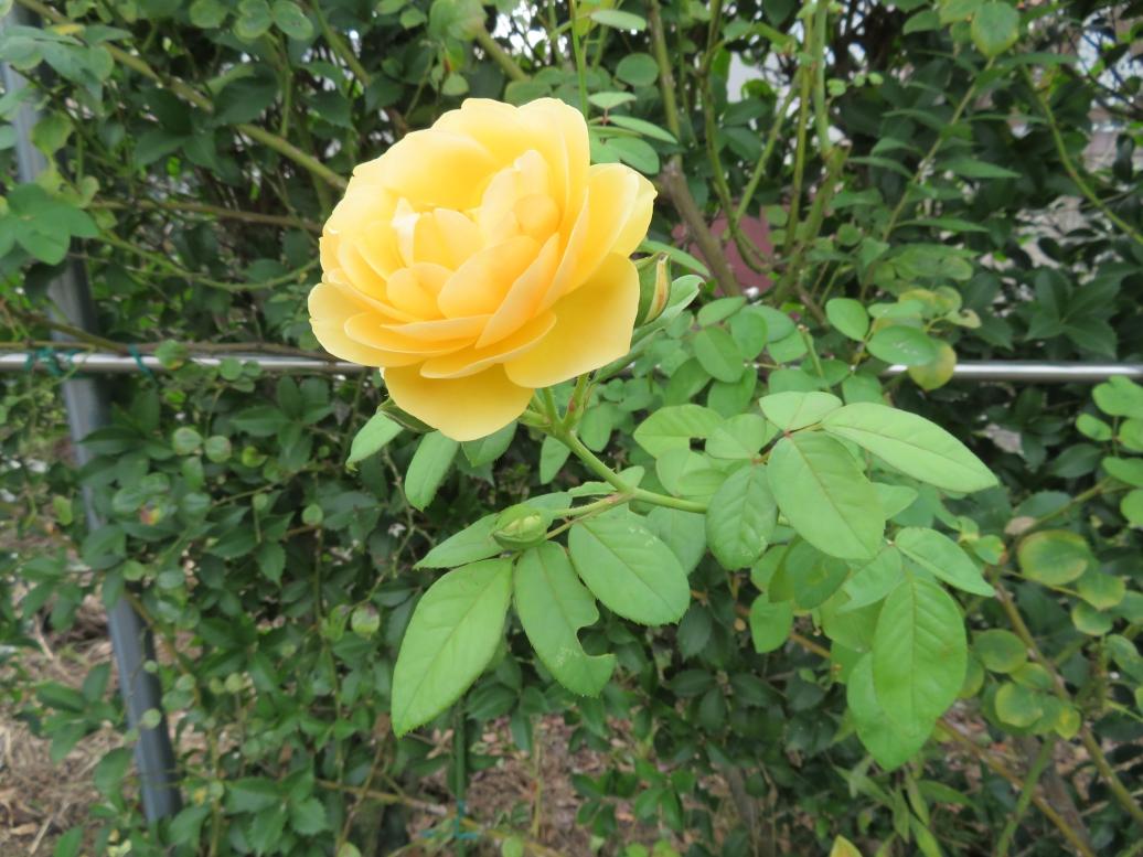 フードパル熊本 薔薇