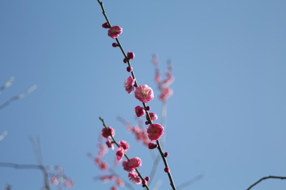 熊本県護国神社の梅園