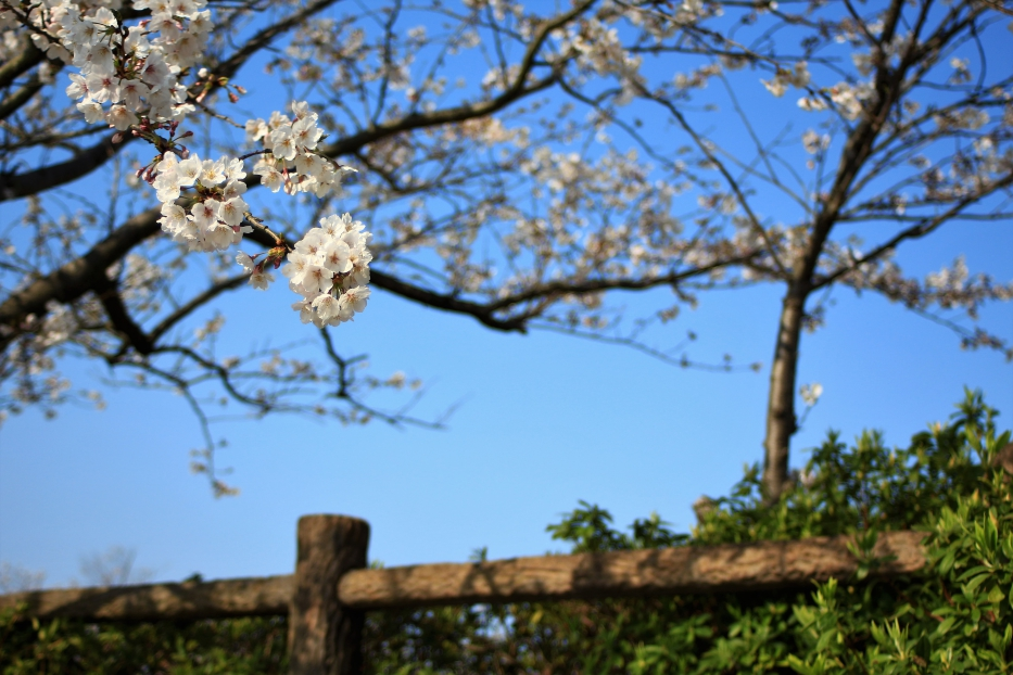 御立岬公園 桜