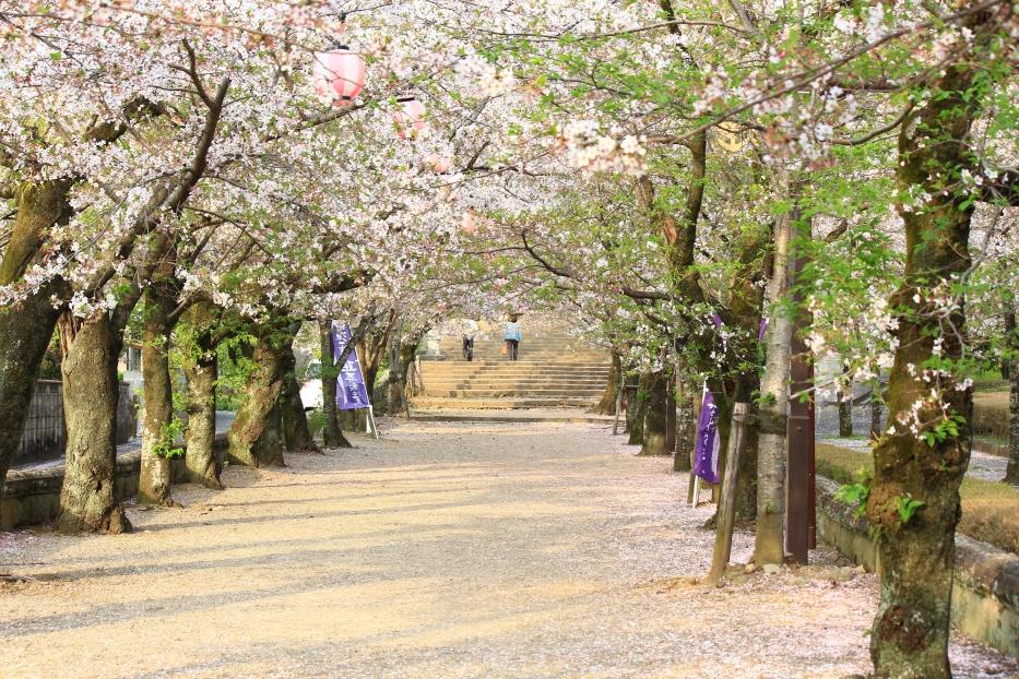 菊池神社 桜のトンネル