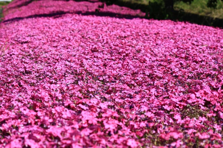 道の駅・あそ望の郷くぎの 芝桜
