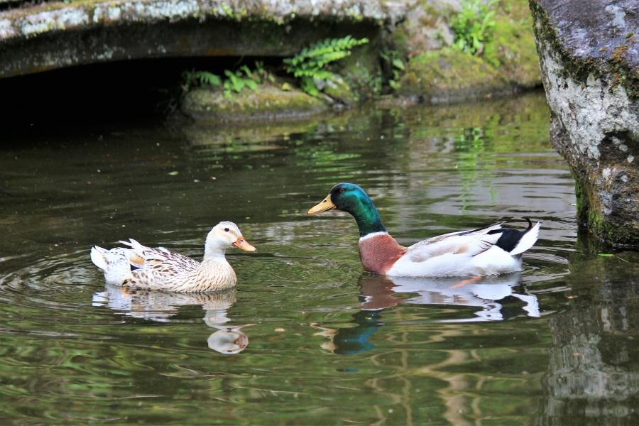 高千穂峡 おのころ池の鴨