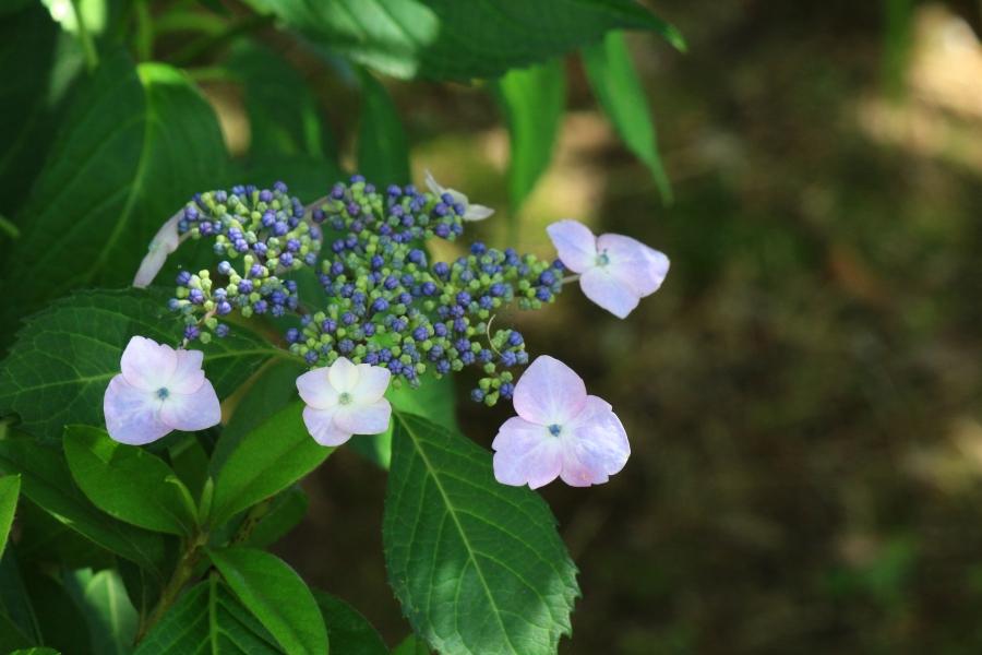 高瀬裏川 紫陽花