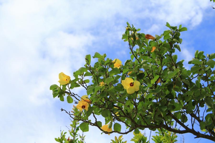 三角西港 ザクロの花